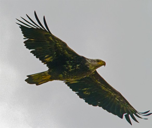 This Bald Eagle flew right over my head.