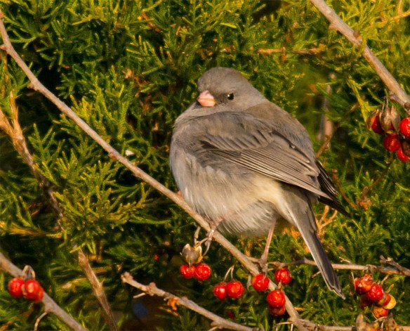 Dark Eyed Junco 2016-3