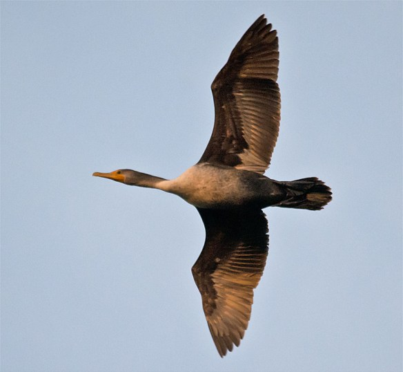 Double Crested Cormorant 2016-6