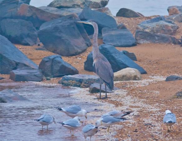 Great Blue Heron 2016-3