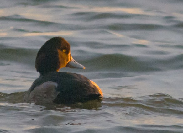 Greater Scaup 2016-3