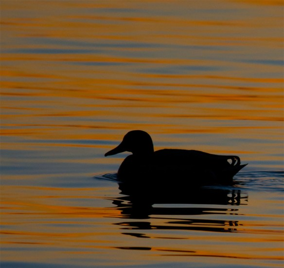 Greater Scaup 2016-5