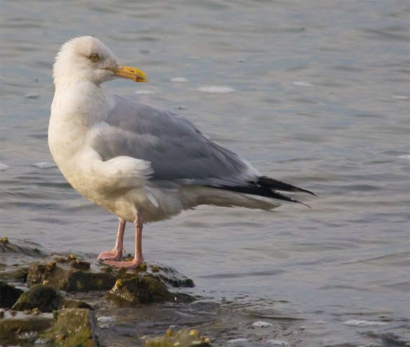 Herring Gull 2016-1