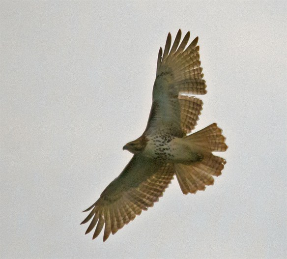 I spooled this Red Tailed Hawk as I approached.