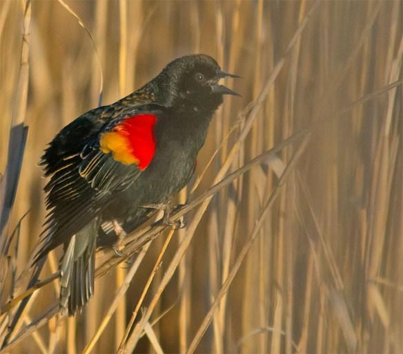 Red Winged Blackbird 2016-2