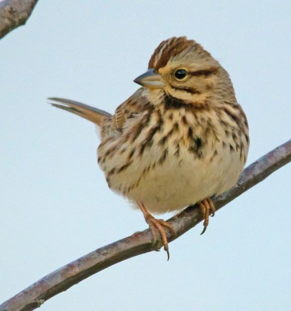 Song Sparrow 2016-1