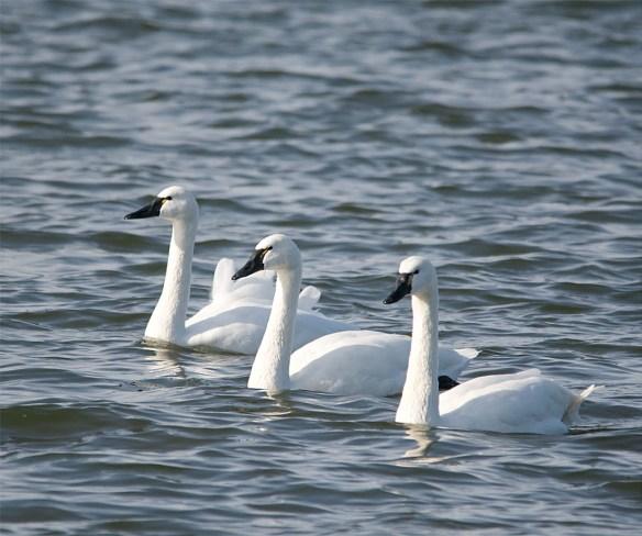 Tundra Swan 2016-15
