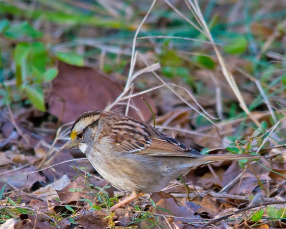 White Throated Sparrow 2016-5