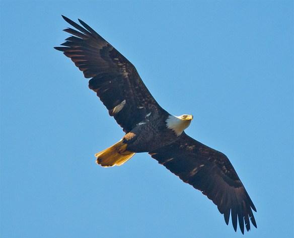 Bald Eagle 2016-31