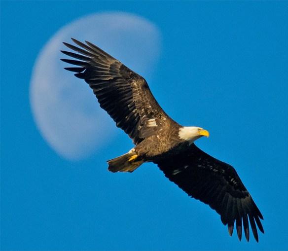 Bald Eagle 2016-34