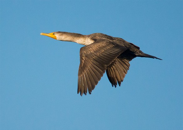 Double Crested Cormorant 2016-11