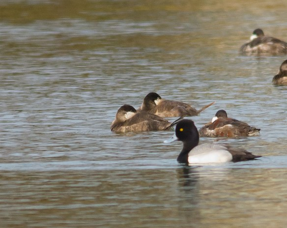 Greater Scaup 2016-13