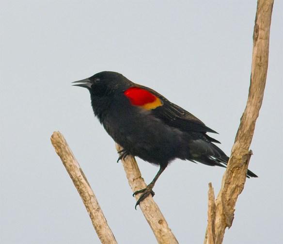 Red Winged Blackbird 2016-8