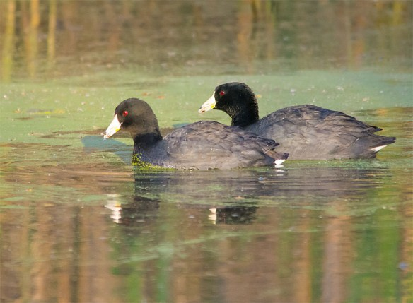 American Coot 2016-4