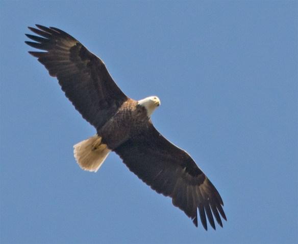 Bald Eagle 2016-41
