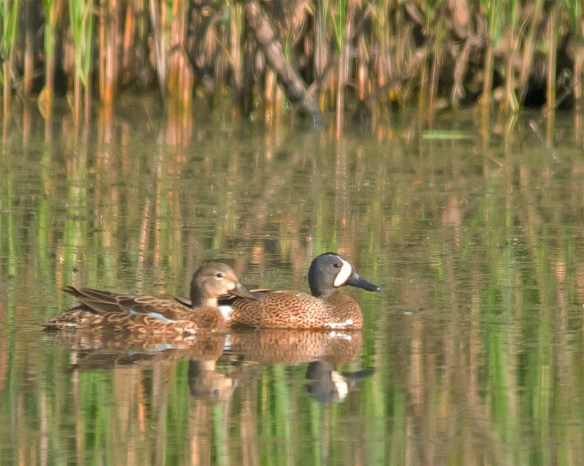 Blue Winged Teal 2016-5