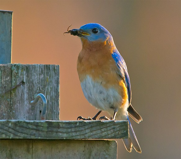 Bluebird 2016-5