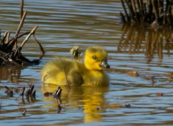Canada Goose 2016-10