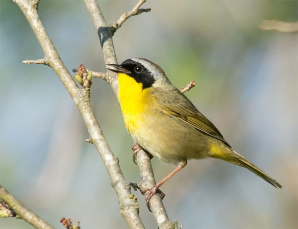 Common Yellowthroat Warbler 2016-1