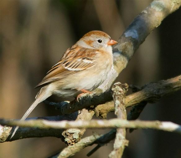 Field Sparrow 2016-3