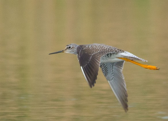 Lesser Yellowlegs 2016-11