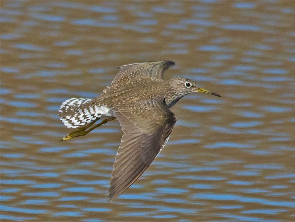 Lesser Yellowlegs 2016-6