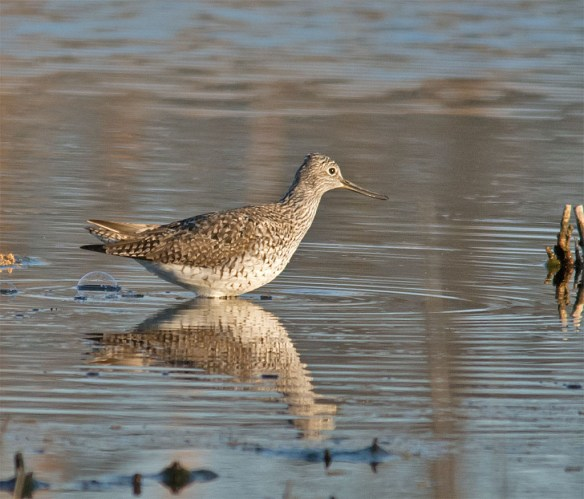 Lesser Yellowlegs 2016-8