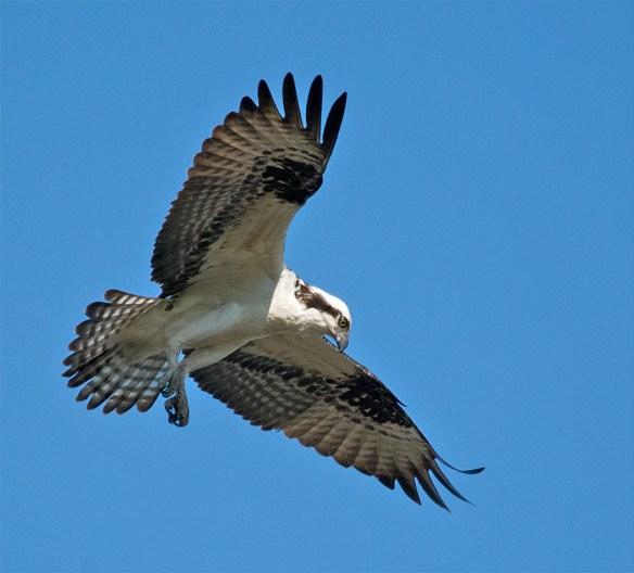 Osprey 2016-40