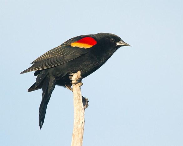 Red Winged Blackbird 2016-13