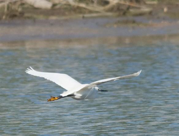 Snowy Egret 2016-6