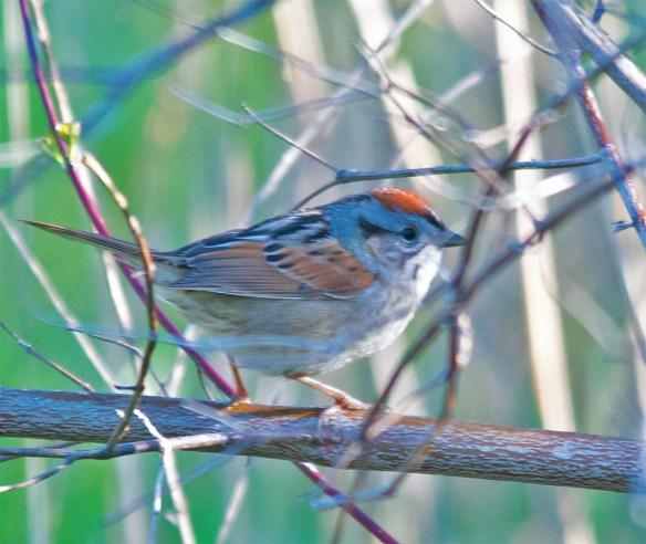 Swamp Sparrow 2016-3