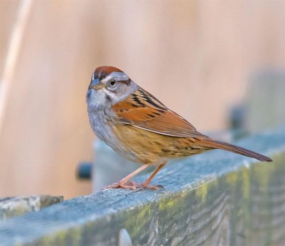 Swamp Sparrow 2016-4