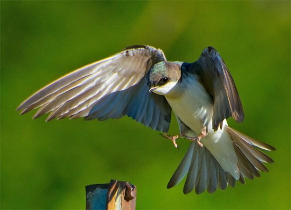 Tree Swallow 2016-19