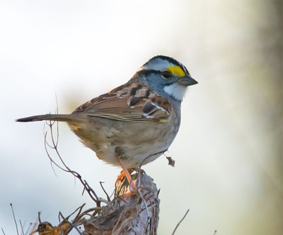 White Throated Sparrow 2016-9