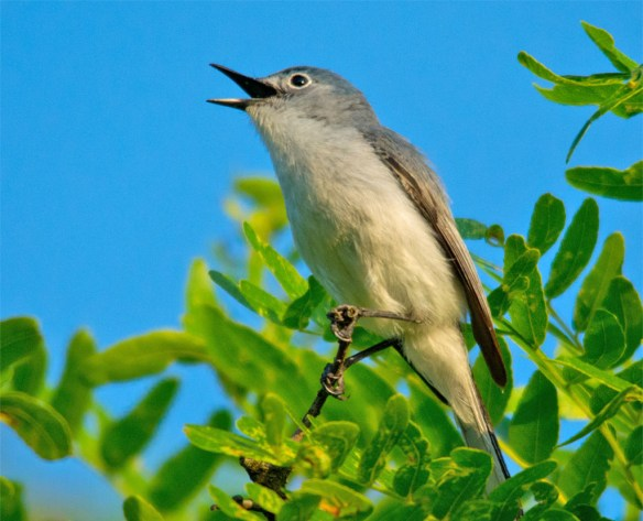 Blue Gray Gnatcatcher 2016-5