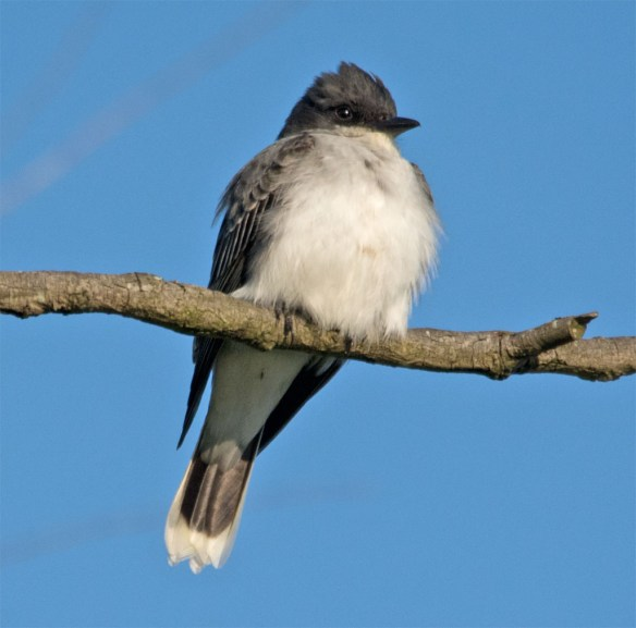 Eastern Kingbird 2016-12