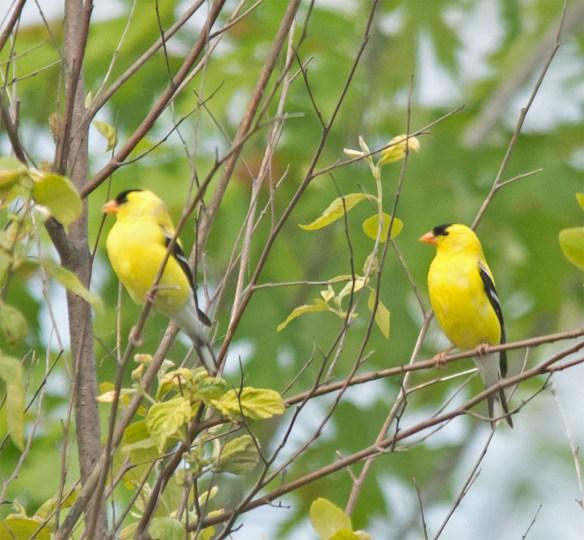 Goldfinch 2106-2