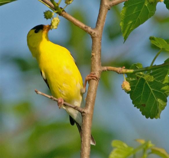 Goldfinch 2106-4