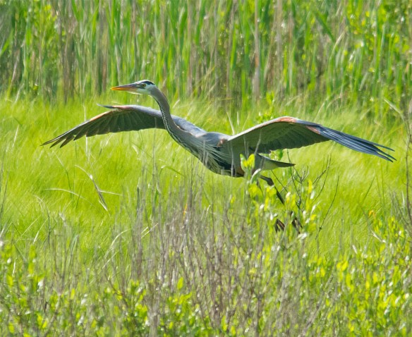 Great Blue Heron 2016-24