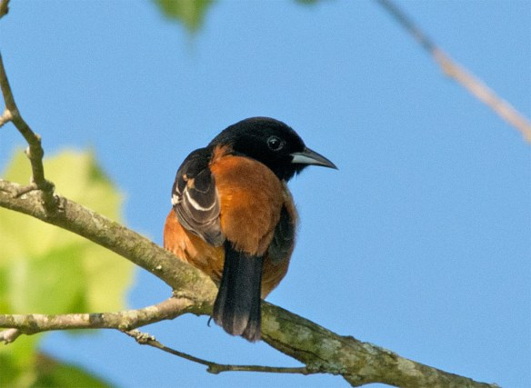 Orchard Oriole 2016-11