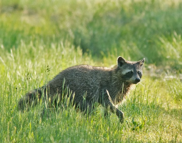 Raccoon 13