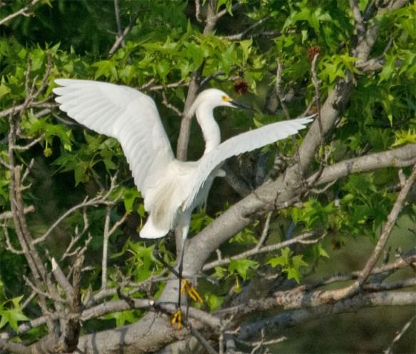 Snowy Egret 2016-10