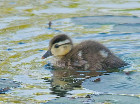 Wood Duck 2016-37