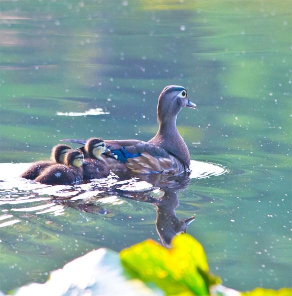 Wood Duck 2016-61