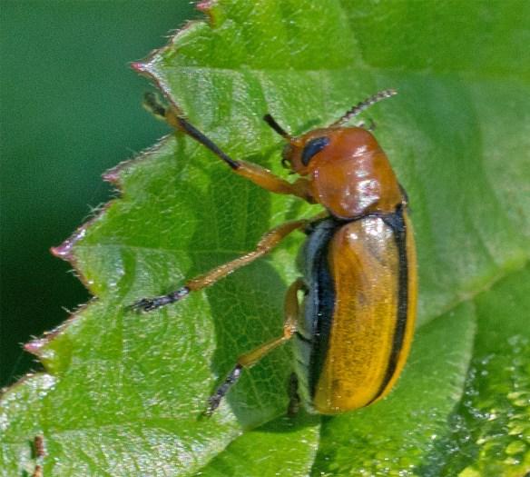Beetle 22