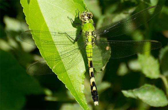 Dragonfly 69
