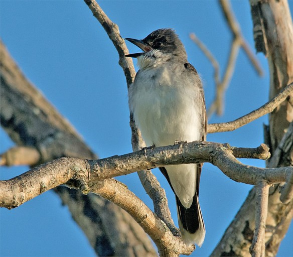 Eastern Kingbird 2016-22