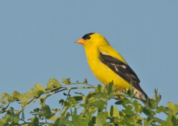 Goldfinch 2106-9