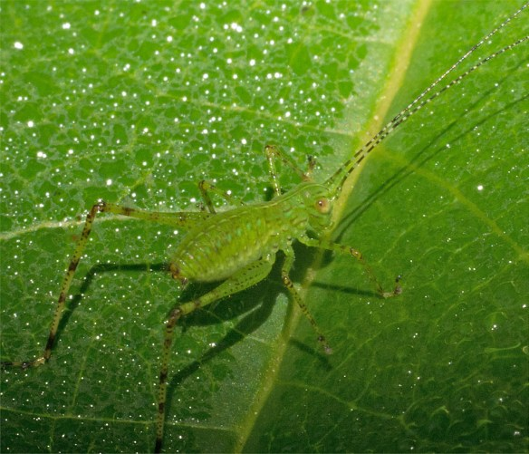 Grasshopper 207