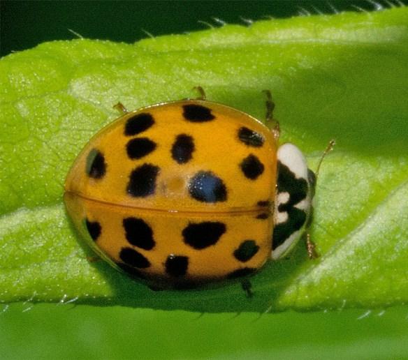 Ladybug 49